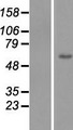 ZNF649 Protein - Western validation with an anti-DDK antibody * L: Control HEK293 lysate R: Over-expression lysate