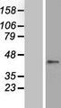ZNF696 Protein - Western validation with an anti-DDK antibody * L: Control HEK293 lysate R: Over-expression lysate