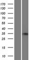 ZNF75A Protein - Western validation with an anti-DDK antibody * L: Control HEK293 lysate R: Over-expression lysate