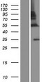 ZNF783 Protein - Western validation with an anti-DDK antibody * L: Control HEK293 lysate R: Over-expression lysate
