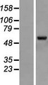 ZNF79 Protein - Western validation with an anti-DDK antibody * L: Control HEK293 lysate R: Over-expression lysate