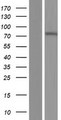 ZNF792 Protein - Western validation with an anti-DDK antibody * L: Control HEK293 lysate R: Over-expression lysate