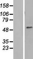 ZNHIT6 / C1orf181 Protein - Western validation with an anti-DDK antibody * L: Control HEK293 lysate R: Over-expression lysate