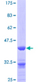 ZPR1 / ZNF259 Protein - 12.5% SDS-PAGE of human ZNF259 stained with Coomassie Blue