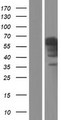 IA-6 / INSM2 Protein - Western validation with an anti-DDK antibody * L: Control HEK293 lysate R: Over-expression lysate