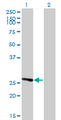 IDI1 / IPP1 Antibody - Western Blot analysis of IDI1 expression in transfected 293T cell line by IDI1 monoclonal antibody (M01), clone 6G10.Lane 1: IDI1 transfected lysate(26.5 KDa).Lane 2: Non-transfected lysate.