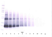 IFN Beta / Interferon Beta Antibody - Biotinylated Anti-Human IFN-ß Western Blot Unreduced