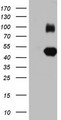 IGSF11 / VSIG3 Antibody - HEK293T cells were transfected with the pCMV6-ENTRY control (Left lane) or pCMV6-ENTRY IGSF11 (Right lane) cDNA for 48 hrs and lysed. Equivalent amounts of cell lysates (5 ug per lane) were separated by SDS-PAGE and immunoblotted with anti-IGSF11.