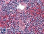 Anti-CADM4 / NECL-4 antibody IHC of human thymus. Immunohistochemistry of formalin-fixed, paraffin-embedded tissue after heat-induced antigen retrieval. Antibody LS-B3960 concentration 2.5 ug/ml.