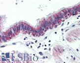 Anti-GPR126 antibody IHC of human lung, respiratory epithelium. Immunohistochemistry of formalin-fixed, paraffin-embedded tissue after heat-induced antigen retrieval.