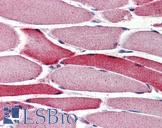 Anti-AIFM2 / AMID antibody IHC of human skeletal muscle. Immunohistochemistry of formalin-fixed, paraffin-embedded tissue after heat-induced antigen retrieval. Antibody concentration 4 ug/ml.