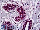 AML1 / RUNX1 Antibody - Anti-RUNX1 antibody IHC of human breast. Immunohistochemistry of formalin-fixed, paraffin-embedded tissue after heat-induced antigen retrieval. Antibody concentration 5 ug/ml.
