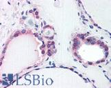 COPS2 / TRIP15 / ALIEN Antibody - Anti-COPS2 antibody IHC of human thyroid. Immunohistochemistry of formalin-fixed, paraffin-embedded tissue after heat-induced antigen retrieval. Antibody concentration 75 ug/ml.