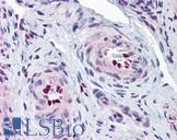 IL-33 Antibody - Anti-IL-33 antibody IHC of human uterus, vessels. Immunohistochemistry of formalin-fixed, paraffin-embedded tissue after heat-induced antigen retrieval. Antibody concentration 5 ug/ml.