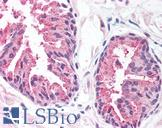 MCTS1 Antibody - Anti-MCT1 antibody IHC of human prostate. Immunohistochemistry of formalin-fixed, paraffin-embedded tissue after heat-induced antigen retrieval. Antibody concentration 20 ug/ml.