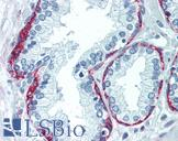 Anti-NGFR antibody IHC of human prostate. Immunohistochemistry of formalin-fixed, paraffin-embedded tissue after heat-induced antigen retrieval. Antibody concentration 5 ug/ml. This image was taken for the unmodified form of this product. Other forms have not been tested.