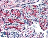 PACE4 / PCSK6 Antibody - Anti-PACE4 antibody IHC of human placenta. Immunohistochemistry of formalin-fixed, paraffin-embedded tissue after heat-induced antigen retrieval.