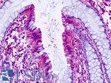 PTGER4 / EP4 Antibody - Human, Colon: Formalin-Fixed Paraffin-Embedded (FFPE)