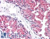 TBC1 / TBC1D1 Antibody - Anti-TBC1D1 antibody IHC of human prostate. Immunohistochemistry of formalin-fixed, paraffin-embedded tissue after heat-induced antigen retrieval. Antibody concentration 5 ug/ml.