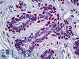 TP63 / p63 Antibody - Anti-p63 antibody IHC staining of human breast. Immunohistochemistry of formalin-fixed, paraffin-embedded tissue after heat-induced antigen retrieval. Antibody dilution 1:200.