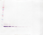 IL8 / Interleukin 8 Antibody - Anti-Human IL-8 (CXCL8) Western Blot Reduced