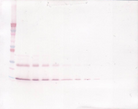 Anti-Murine IL-9 Western Blot Unreduced