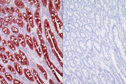 Left: Dog intestine stained with mouse antibody against multi-cytokeratin and detected with ImmPRESS™ VR HRP Anti-Mouse IgG and Vector® NovaRED® Substrate. Counterstained with Vector® Hematoxylin QS. Right: No mouse primary antibody negative control section displaying no background.