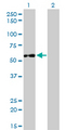 IMPDH2 Antibody - Western Blot analysis of IMPDH2 expression in transfected 293T cell line by IMPDH2 monoclonal antibody (M01), clone 1E12-B6.Lane 1: IMPDH2 transfected lysate(55.8 KDa).Lane 2: Non-transfected lysate.