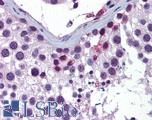 Anti-ING4 antibody IHC of human testis. Immunohistochemistry of formalin-fixed, paraffin-embedded tissue after heat-induced antigen retrieval. Antibody LS-B5821 concentration 5 ug/ml.  This image was taken for the unconjugated form of this product. Other forms have not been tested.