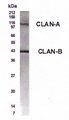 Western blot of CLAN in lung lysate with anti-CLAN at a 1:500 dilution. Detects CLAN-A and CLAN-B isoforms.