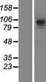 IQCA Protein - Western validation with an anti-DDK antibody * L: Control HEK293 lysate R: Over-expression lysate