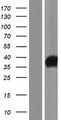 IYD Protein - Western validation with an anti-DDK antibody * L: Control HEK293 lysate R: Over-expression lysate