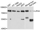 JPH4 Antibody - Western blot analysis of extract of various cells.
