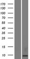 KAAG1 Protein - Western validation with an anti-DDK antibody * L: Control HEK293 lysate R: Over-expression lysate