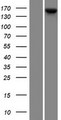 KCP / CRIM2 Protein - Western validation with an anti-DDK antibody * L: Control HEK293 lysate R: Over-expression lysate