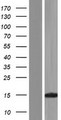 KHDC1L Protein - Western validation with an anti-DDK antibody * L: Control HEK293 lysate R: Over-expression lysate