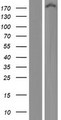 KIAA0368 / ECM29 Protein - Western validation with an anti-DDK antibody * L: Control HEK293 lysate R: Over-expression lysate