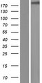 KIAA0556 Protein - Western validation with an anti-DDK antibody * L: Control HEK293 lysate R: Over-expression lysate