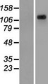 KIAA1033 Protein - Western validation with an anti-DDK antibody * L: Control HEK293 lysate R: Over-expression lysate