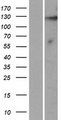 KIAA1614 Protein - Western validation with an anti-DDK antibody * L: Control HEK293 lysate R: Over-expression lysate