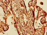 Immunohistochemistry of paraffin-embedded human placenta tissue using CSB-PA837438LA01HU at dilution of 1:100