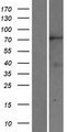 KIF2B Protein - Western validation with an anti-DDK antibody * L: Control HEK293 lysate R: Over-expression lysate