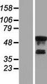 KLF8 Protein - Western validation with an anti-DDK antibody * L: Control HEK293 lysate R: Over-expression lysate