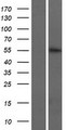 KRT74 / Keratin 74 Protein - Western validation with an anti-DDK antibody * L: Control HEK293 lysate R: Over-expression lysate