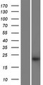 KRTAP27-1 Protein - Western validation with an anti-DDK antibody * L: Control HEK293 lysate R: Over-expression lysate