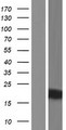 KRTAP9-2 Protein - Western validation with an anti-DDK antibody * L: Control HEK293 lysate R: Over-expression lysate