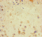Immunohistochemistry of paraffin-embedded human placenta tissue at dilution of 1:100