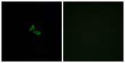Immunofluorescence analysis of A549 cells, using EDG7 Antibody. The picture on the right is blocked with the synthesized peptide.