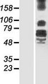 LRFN4 Protein - Western validation with an anti-DDK antibody * L: Control HEK293 lysate R: Over-expression lysate
