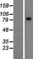 LRGUK Protein - Western validation with an anti-DDK antibody * L: Control HEK293 lysate R: Over-expression lysate